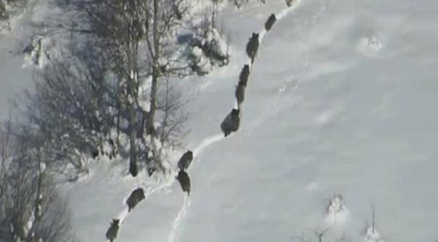 Τεράστιο κοπάδι αγριογούρουνα κατέβηκε σε χωριό, στα Κοτύωρα του Πόντου! Βίντεο