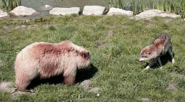 Άρκον, λύκον κι' αλεπόν. Ένα ποντιακό παραμύθι