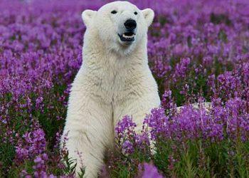 Μια πολική αρκούδα στους ανθισμένους αγρούς