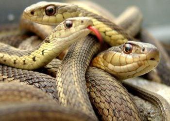 Παρθενογένεση σε άγρια φίδια