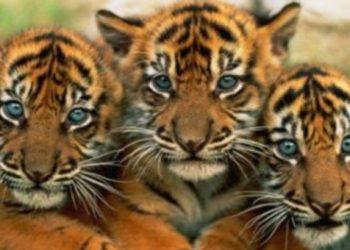 Ταϋλανδός είχε 6 τίγρεις για κατοικίδια