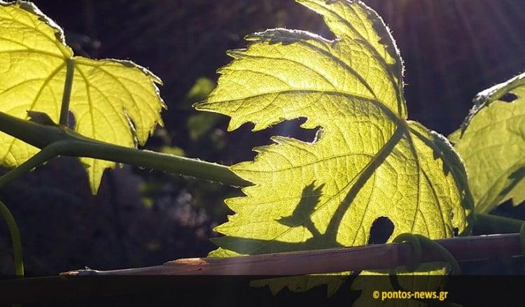 ΑΠΘ: Την αρχή της καλλιέργειας εξημερωμένων σταφυλιών στην Ελλάδα την Εποχή του Χαλκού εντόπισαν ερευνητές