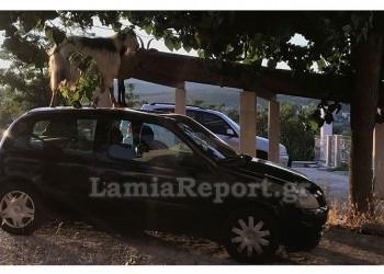 Κατσίκες στη Λαμία ανέβηκαν στον ουρανό αυτοκινήτου