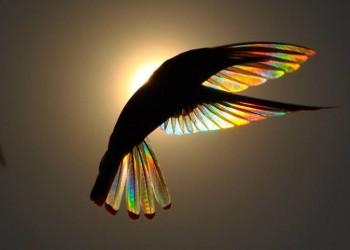 Τα φτερά των κολιμπρί γίνονται «ουράνια τόξα» (φωτο)