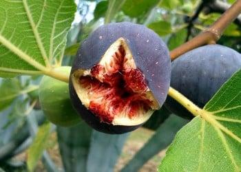 Αυγουστιάτικη μαρμελάδα σύκο – Η αρωματική