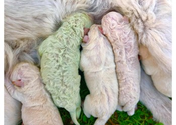 Έχετε δει σκύλο με πρασινωπό τρίχωμα;