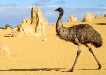 australia emu bird